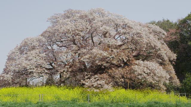 large cherry tree of yoshitaka - cherry tree stock videos & royalty-free footage