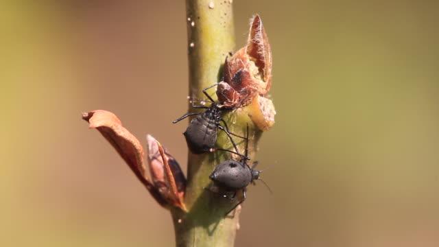 large chestnut aphid (lachnus tropicalis) - lebenszyklus stock-videos und b-roll-filmmaterial