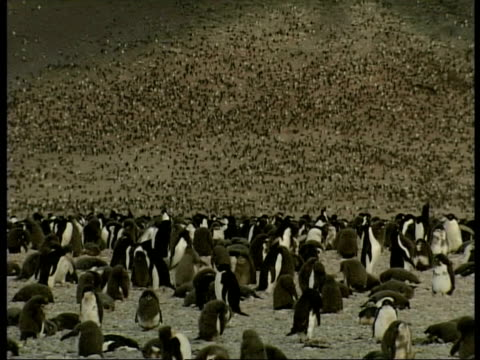 wa large colony of adelie penguin, pygoscelis adeliae, dotted over brown landscape, antarctica - tierkolonie stock-videos und b-roll-filmmaterial