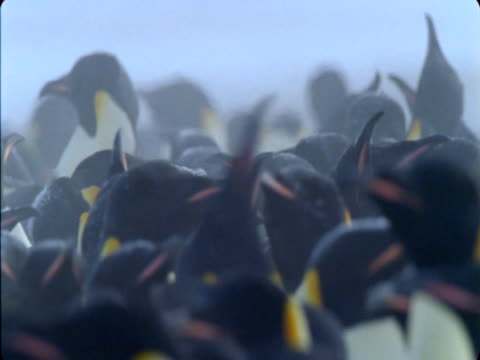 a large colony of emperor penguins jostles on ice. - flightless bird stock videos & royalty-free footage