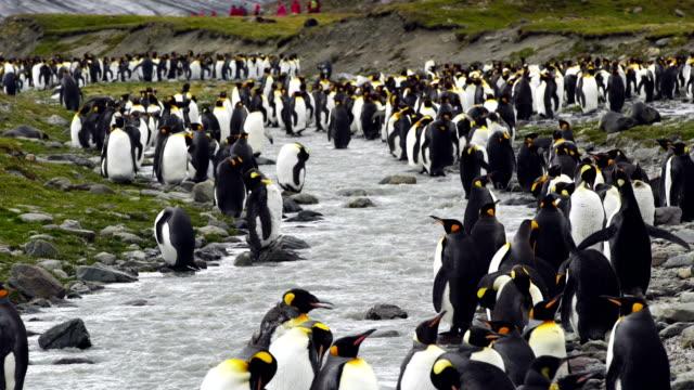 大型のキングペンギンコロニー南ジョージア