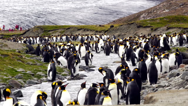 Large Colony of King Penguins in South Georgia