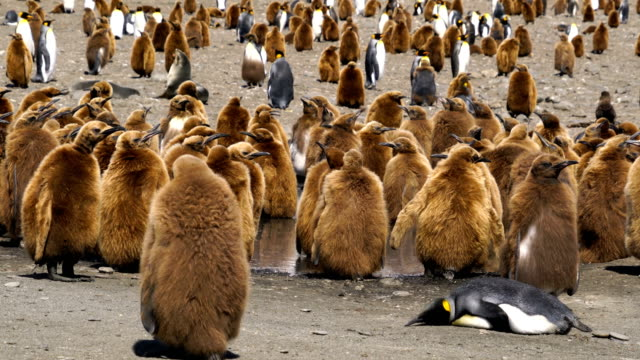 large colony of king penguins on south georgia island. group of juvenile penguins with dark brown down feathers - group of animals stock videos & royalty-free footage
