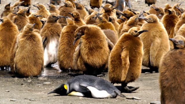 large colony of king penguins on south georgia island. group of juvenile penguins with dark brown down feathers - royal penguin stock videos & royalty-free footage
