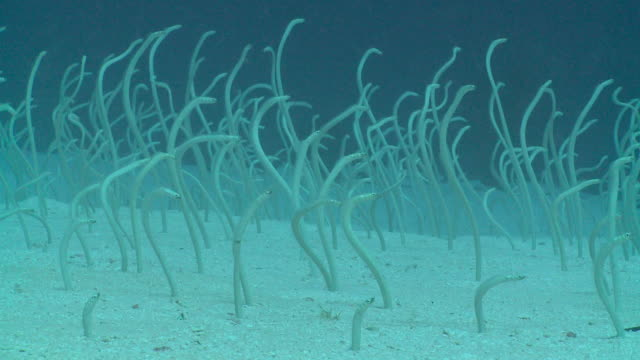 large colony of spaghetti garden eels (gorgasia maculata) feeding from burrows, meemu atoll, the maldives - saltwater eel stock videos & royalty-free footage