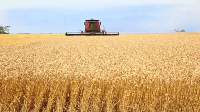 WS Large Combine Harvesting Wheat in Field / Oyster, Virginia, USA