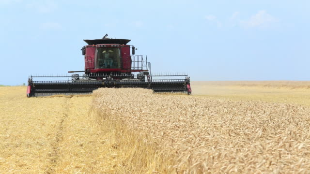 CU Large Combine Harvesting Wheat in Field / Oyster, Virginia, USA