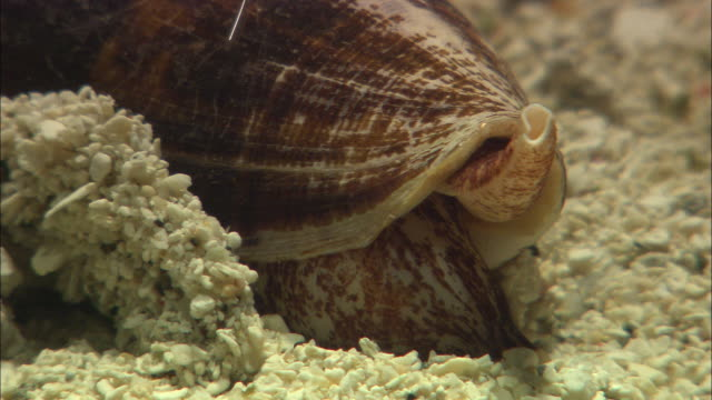 a large cone snail digs into the sandy seabed. - snail stock videos & royalty-free footage