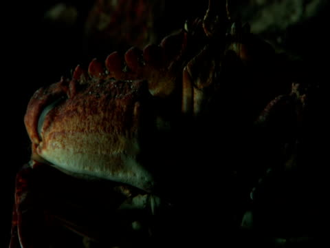 a large crab feeds on seabed. - eucariota video stock e b–roll