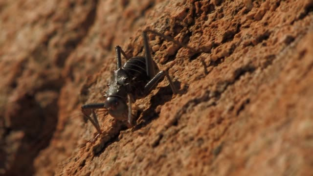 a large cricket walks down a rock. available in hd. - grillo insetto video stock e b–roll