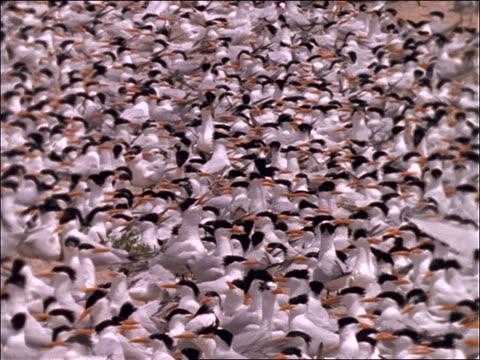 vídeos de stock e filmes b-roll de large crowd of black and white birds (terns) - organismo aquático
