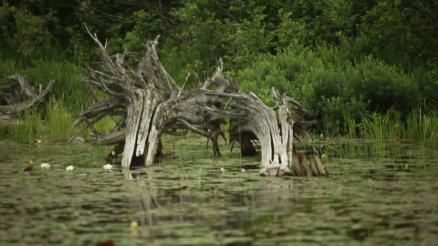 Large Dead Tree Stumps in Water Surrounded by Lily Pads