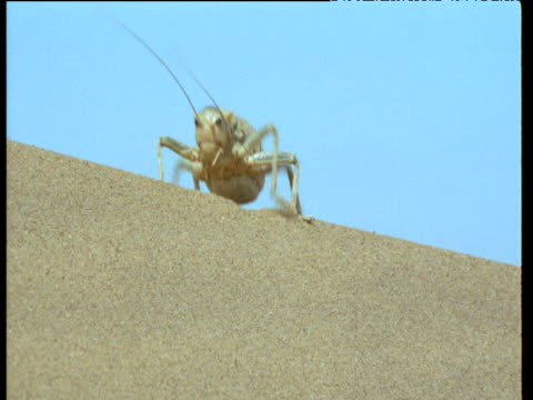 large desert cricket waddles over sand dune - cricket insect stock videos and b-roll footage
