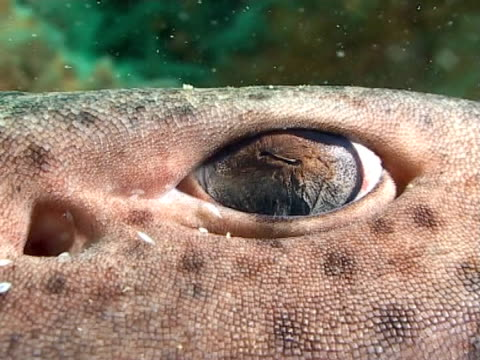 stockvideo's en b-roll-footage met large dog fish eye turning, bcu - doornhaai