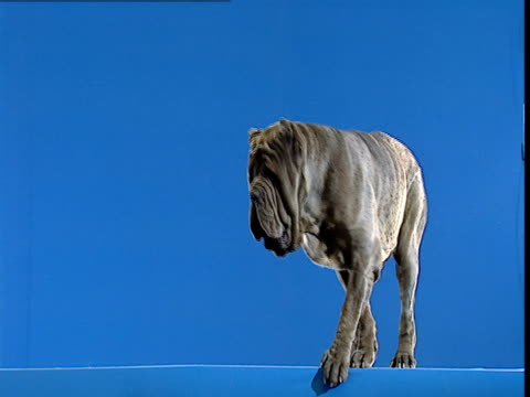 a large dog with a saggy face looks around as it stands in front of a blue wall. - 超高精細点の映像素材/bロール