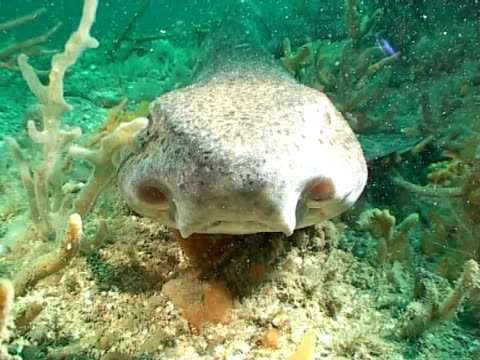 ws large dogfish head on shows nostrils  on reef - animal nose stock videos & royalty-free footage
