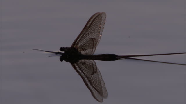 a large dragonfly floats on the surface of water. - gliedmaßen körperteile stock-videos und b-roll-filmmaterial