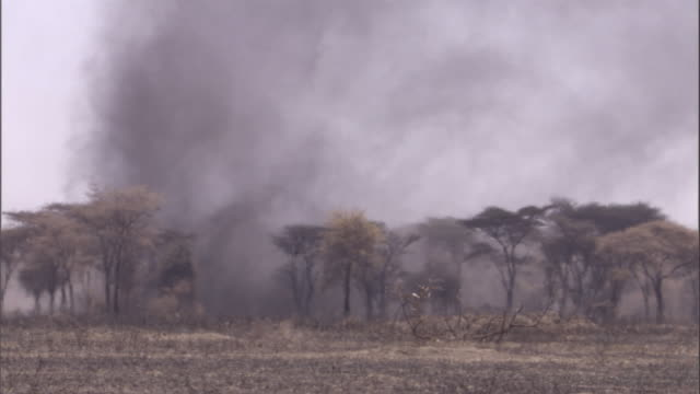 a large dust devil swirls among the trees of the savanna. available in hd. - arid stock videos & royalty-free footage