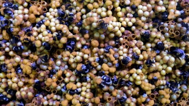 large earth bumblebees ( bombus terrestris ) on honeycomb - eddie large stock videos & royalty-free footage