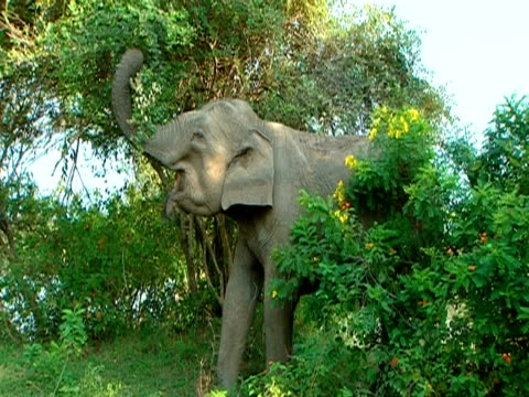 ms large elephant pulling leaves off tree and eating them - tierische nase stock-videos und b-roll-filmmaterial