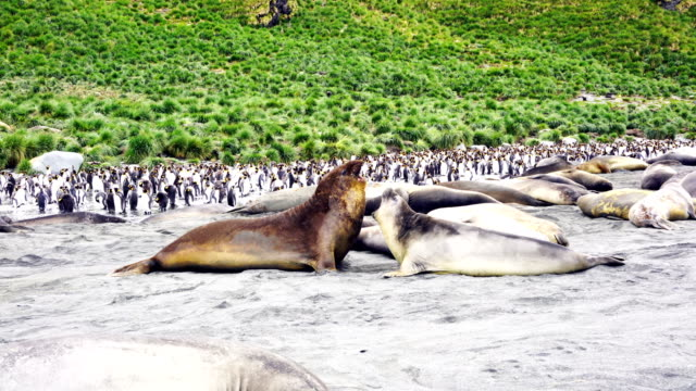 large elephant seals lying on the ground looking at camera with colony of king penguins in the background. south georgia island - st andrews bay stock videos & royalty-free footage