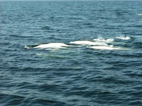 ms, large family groups of beluga whales forming (2006). st lawrence, canada. - nordatlanten bildbanksvideor och videomaterial från bakom kulisserna