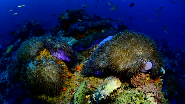 Large field of Anemones in the Gulf of Thailand