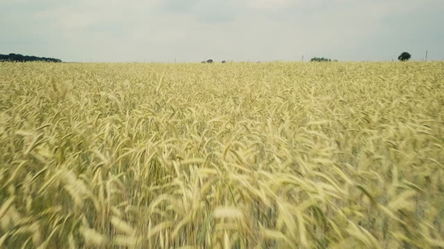 large field with barley. aerial view - orzo video stock e b–roll