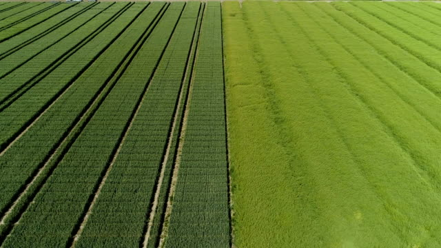 Large field with corn. Aerial view