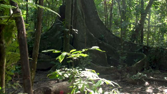 vídeos de stock, filmes e b-roll de large fig tree in rainforest understory, left slide reveal, 4k - tambopata