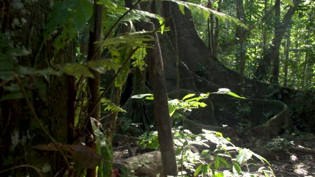 vídeos y material grabado en eventos de stock de large fig tree in rainforest understory, right slide reveal, 4k - raíz