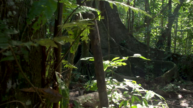vídeos de stock, filmes e b-roll de large fig tree in rainforest understory, right slide reveal, 4k - tambopata