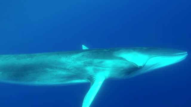 vídeos de stock e filmes b-roll de large fin whale swims very close to the camera, atlantic ocean, the azores. - um animal