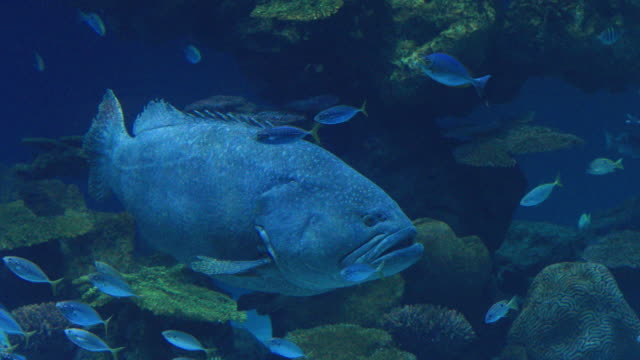 large fish giant grouper swimming in a pond. - atlantic ocean stock videos & royalty-free footage