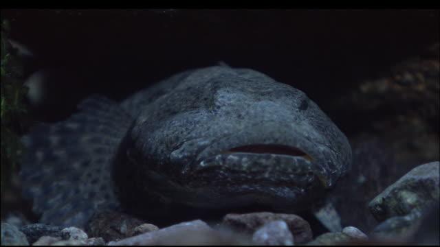 large fish hides amongst rocks on seabed, mount chokaisan, yamagata, japan, diving shot - 鳥海山点の映像素材/bロール