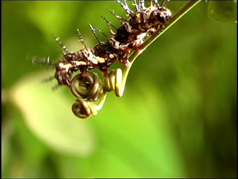 large flame butterfly caterpillar clambers up tendril to reveal tiny caterpillar - invertebrate stock videos & royalty-free footage
