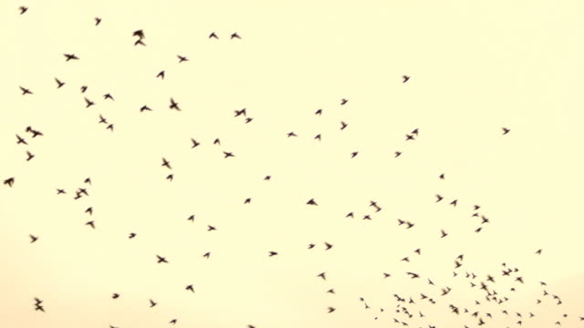 large flock of birds during fall migration - flock of birds stock videos and b-roll footage