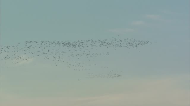 a large flock of birds flies overhead. - animal migration stock videos & royalty-free footage