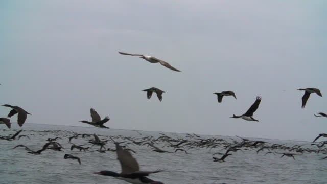 Large flock of birds fly over sea surface towards camera