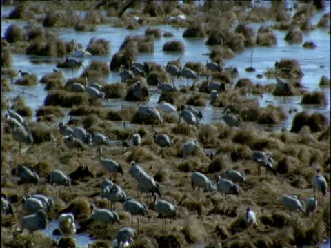 large flock of cranes in marsh - クロヅル点の映像素材/bロール