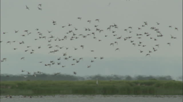 Large flock of ducks fly over lake, Bayanbulak grasslands.