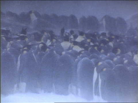 vidéos et rushes de large flock of emperor penguins huddling during snowstorm / some stretching necks to look around - large group of animals