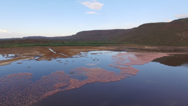 large flock of flamingos at sunrise in lake bogoria, aerial move - 自然保護区点の映像素材/bロール