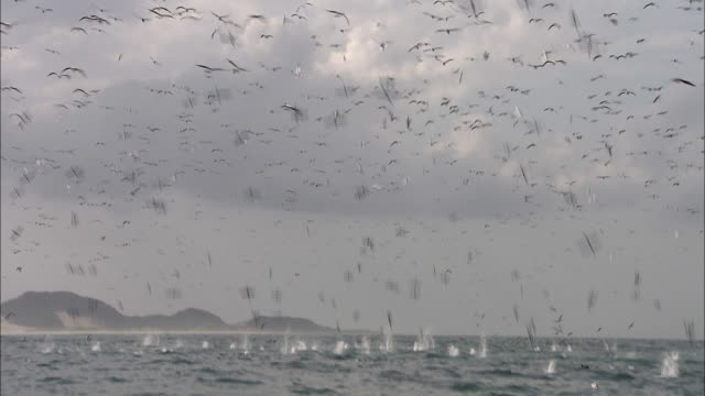 ws, large flock of gannets diving into water - gannet stock videos & royalty-free footage