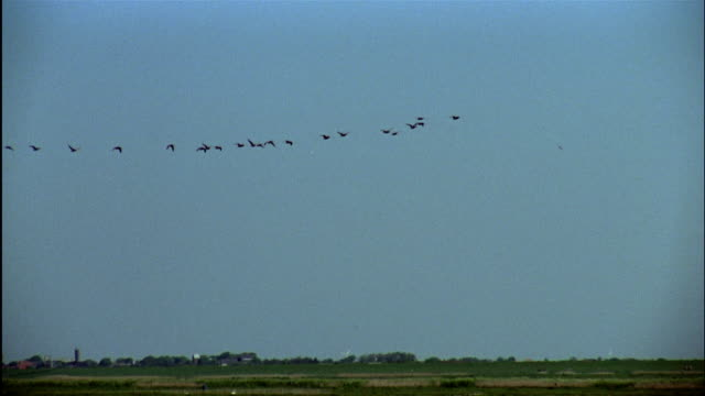 vídeos de stock, filmes e b-roll de a large flock of geese flies in formation. - birds flying in v formation