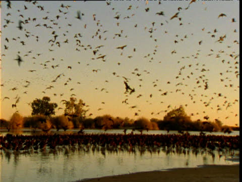large flock of glossy ibis come in to roost in shallows of lake, diamantina, queensland, australia - perching stock videos & royalty-free footage