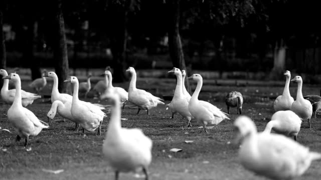 Large flock of goose