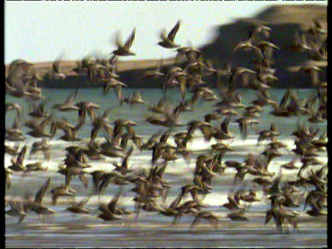 vídeos de stock, filmes e b-roll de large flock of knots takes off from shore and flies around in formation above sea flapping wings valdes peninsula - birds flying in v formation