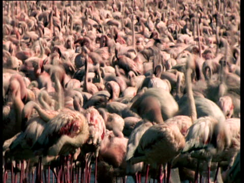large flock of lesser flamingo feed in kenyan soda lake - apparato digerente animale video stock e b–roll