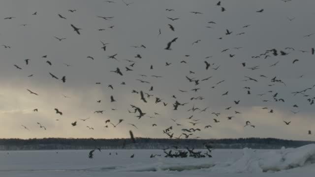 large flock of steller's sea eagles (haliaeetus pelagicus) and black kites (milvus migrans) wheel over eagles on frozen lake. japan - large group of animals stock-videos und b-roll-filmmaterial